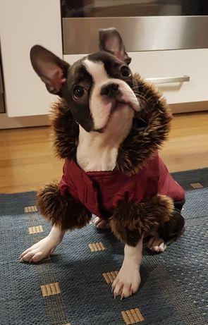 Ubranka dla Boston Terrier i nie tylko ubranie DoggyDolly M