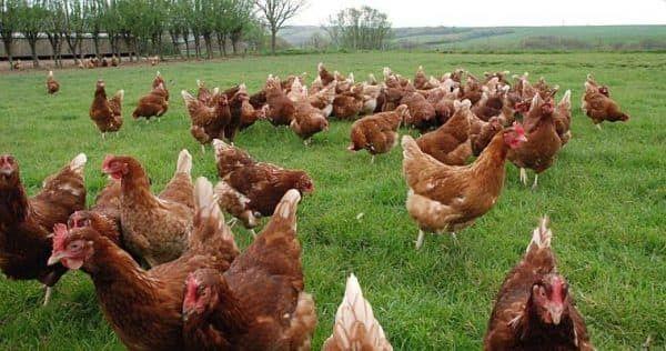 Цыплята, куры и др. Доставка.