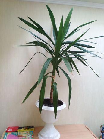 Юка(пальма)