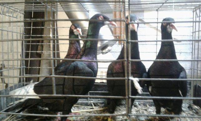 Sprzedam gołębie BRÓDKI Podróbek czarny 10 sztuk