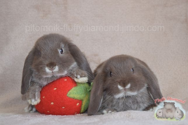Декоративный вислоухий кролик. Гавана(шоколадный) белоостевой