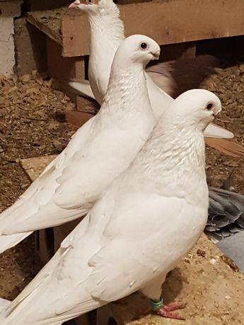 Antwerpskie orliki