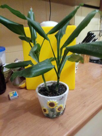 Драцена, ложная пальма
