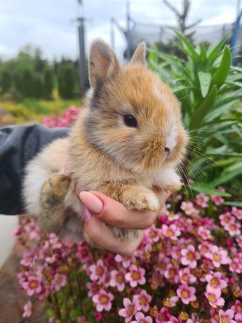 Królik króliczek miniaturka lwia