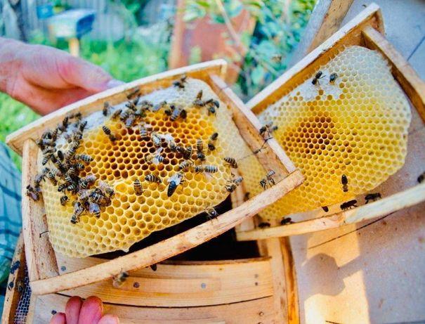 Пчелиная матка Матка меченая С проверкой на засев Матка Карпатка