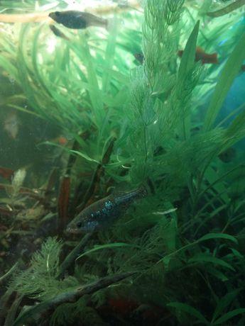 Wytrzymałe ryby zyworodne
