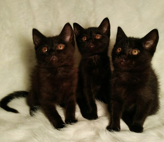 Котята британские 3 мес. Невероятно красивые ,