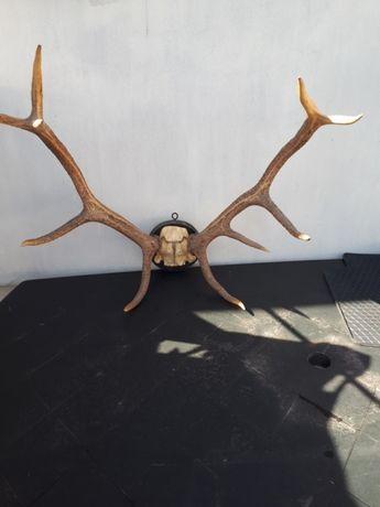Rogi Poroże jelenia trofeum z czaszką