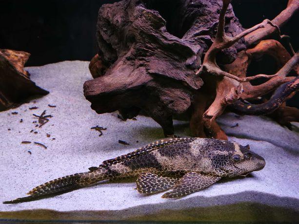 Gibbiceps glonojad 40cm