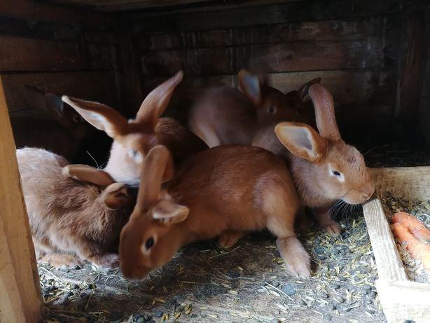 Królik króliki nowozelandzki czerwony NOWOZELANDZKIE