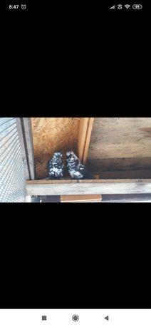 Gołębie Motyle warszawskie i mewek