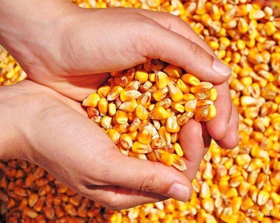 Продам зерно кукурузы