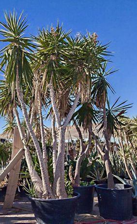 Yuccas plantas,àrvores e palmeiras de leque e outras de todos tamanhos