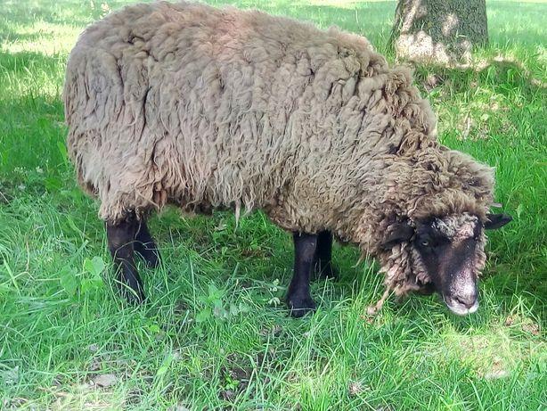 Продам овець на розплід чи м'ясо
