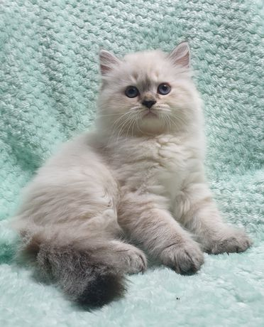 Kociaki brytyjskie Point długowłose