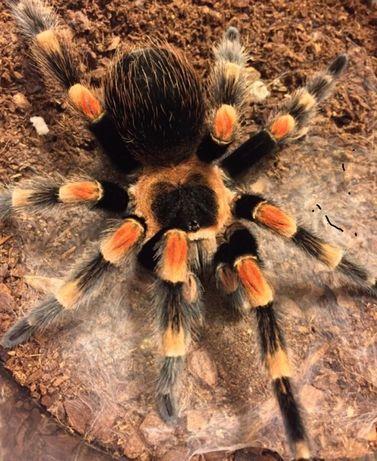 Brachypelma hamorii самка паука птицееда для новичков тарантул