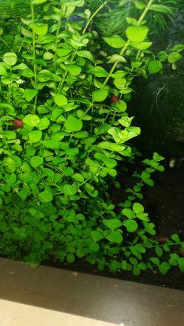Micranthemum umbrosum 10szt