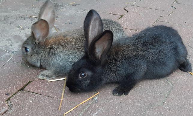 Sprzedam królika hodowlanego
