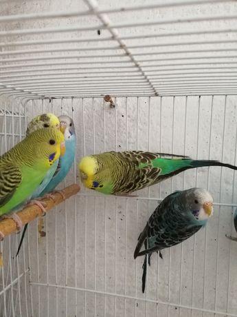 Várias aves para cedência