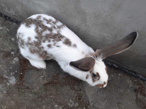 Sprzedam królika samice kotną 10 miesięcy