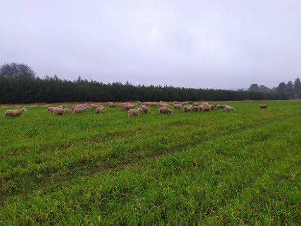 Owce, jagnięta .