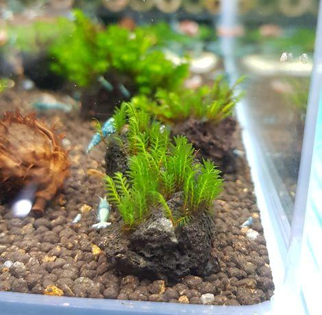 Rośliny akwariowe Fissidens nobilis na kamieniu