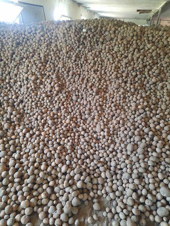 Ziemniaki sadzeniak Zuzanna