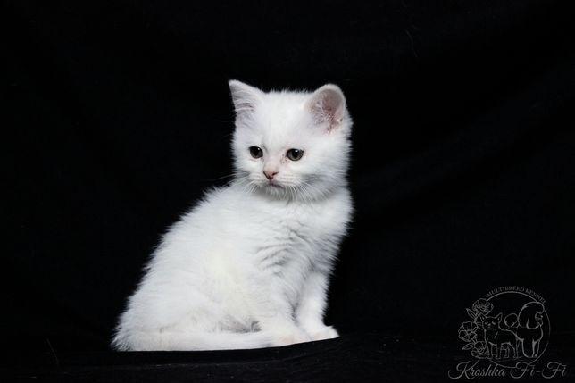 Шотландский котёнок. Видео