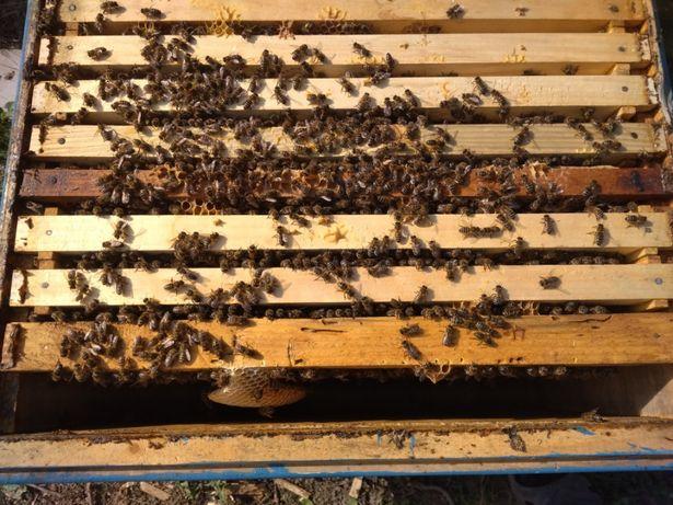 Породн. Пчелосемьи (бджолосі'ї ) продам
