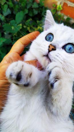 Котенок британской серебристой шиншиллы.