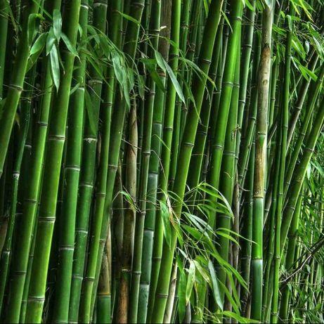 Семена морозостойкого бамбука 25 шт