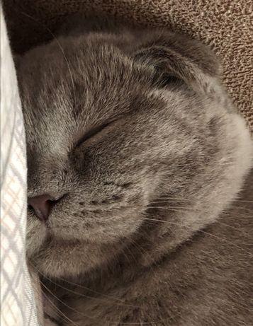 кошка вислоухая скоттиш фолд