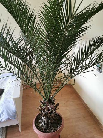 Palma daktylową 2m.