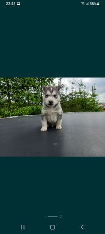 Husky pies siberian grafitowe oczy szczeniak wyprawka UNIKAT silver