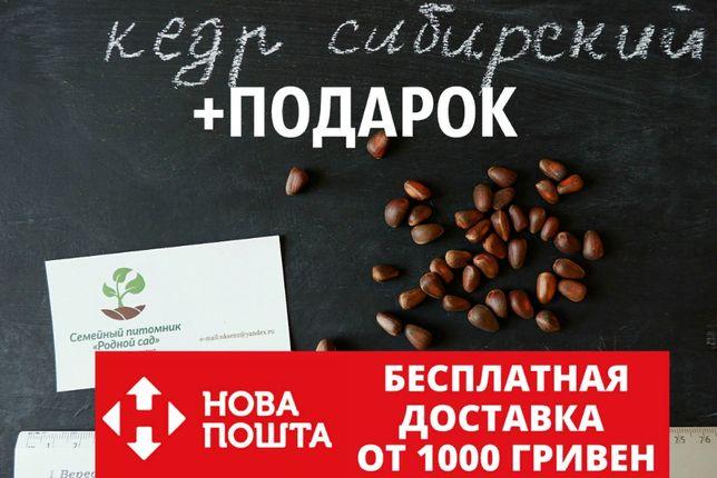 Кедр сибирский 20 штук семена (сосна кедровая) для саженцев+подарок