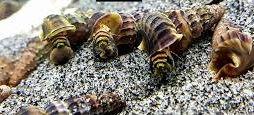 Ślimak Tylomelania king snail