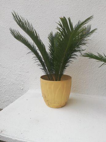 Palmeira sica ou chica