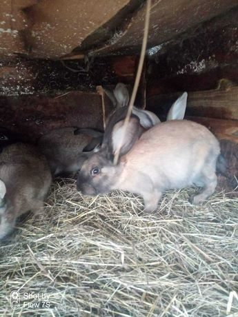 Królik króliki samiec samica