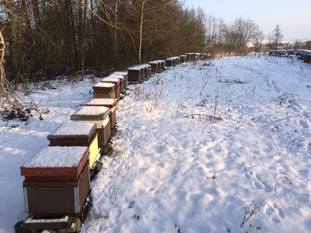 Pasieka, pszczoły, rodziny pszczele