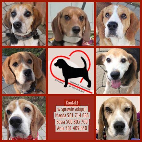 Beagle do adopcji