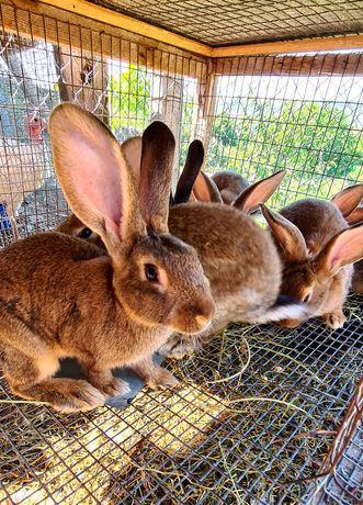 Кролики домашние. Мясо кролика. На развод