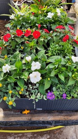 Kwiaty balkonowe, rabatowe, pelargonie, surfinie i inne