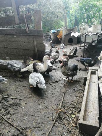 Мускусные утки. Подрощеные утята