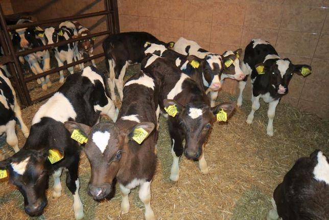 Byczki i jałówki mięsne NCB cielaki cielęta byki sprzedaż cieląt