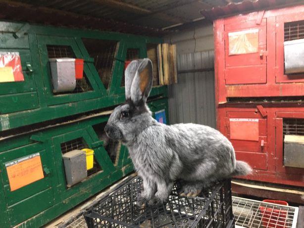 Продаються кролі,кролики (породисті)