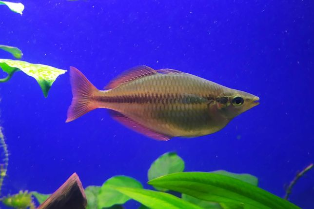Tęczanki trójbarwne, trójpręgie, rybki akwariowe