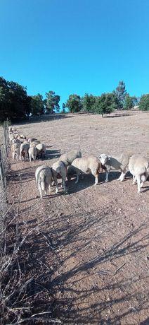 Ovelhas lote de 10