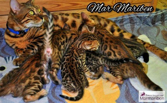 Питомник предлагает бенгальских котят