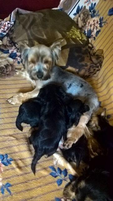 Йоркширские терьеры щенки