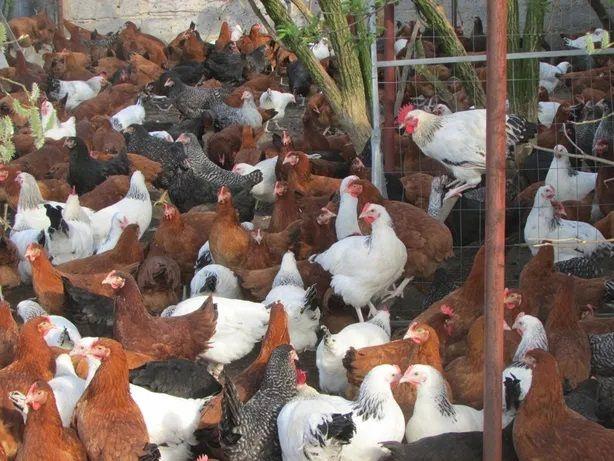 Młode kury nioski,kurki, kurczaki odchowane,kokoszki całe podlaskie